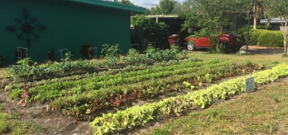 An example of Florida garden being used to plant kale and lettuce - npr.org