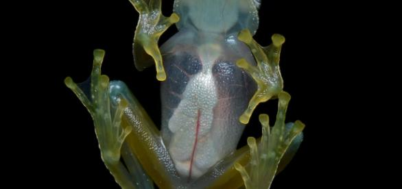 A regular Glass Frog - https://commons.wikimedia.org/wiki/File:Flickr_-_ggallice_-_Glass_frog_(4)_cropped.jpg