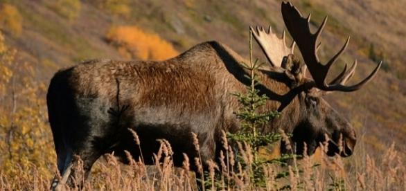 A bull moose in Alaska (wikimediacommons)
