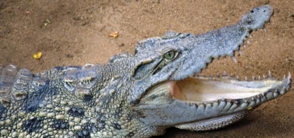 Ancient crocodile had teeth similar to T.Rex / Photo via Ravi Jandhyala, Flickr