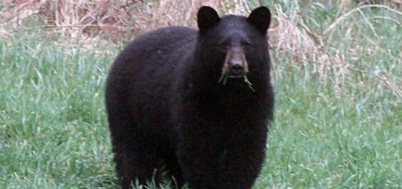 Urso negro tem fama de atacar humanos (Foto: Reprodução)