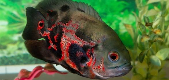 Peixe Oscar - Peixes de Aquário - com.br