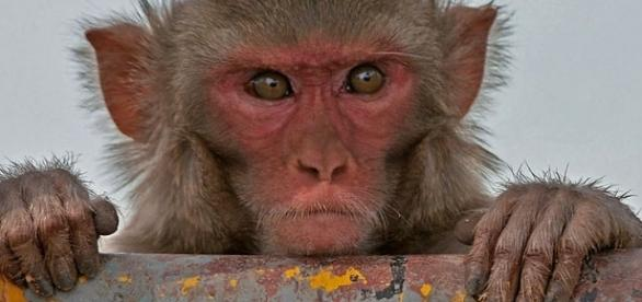 Photo rhesus macaque monkey via Wikimedia by J.M.Garg/CC BY-SA 4.0