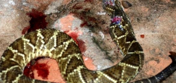Homem matou cascavel a dentada (Foto internet)