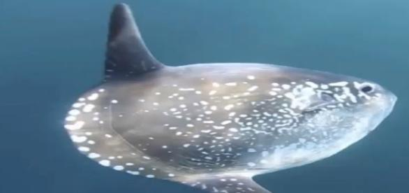 New sunfish species - A completely new species -Image -Science and more | YouTube