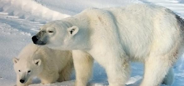 A polar bear sow with a cub (credit – BrockenInaglory – wikimediacommons)