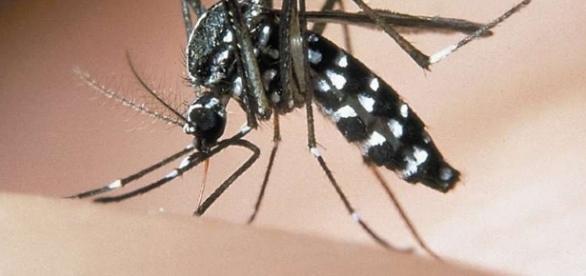 Zanzara tigre (Aedes albopictus). Foto fornita da: raccoltalink.it