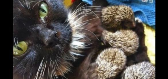 A gata Muska adotou oito filhotes de ouriço (Crédito: Twitter/Olivia Finch)