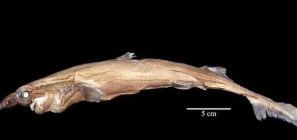 Pictured here is the Etmopterus lailae, a member of the Lanternshark family (Image via YouTube/Science and more/Science and More channel)