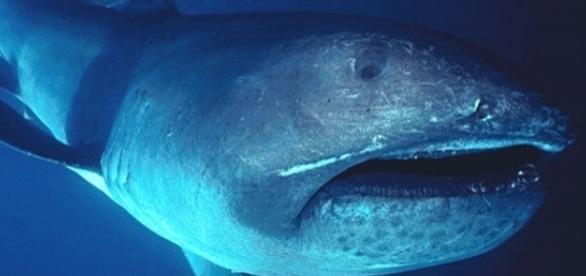 Rare megamouth shark filmed off the Komodo Island (Wikimedia Commons/FLMNH Ichtyology)
