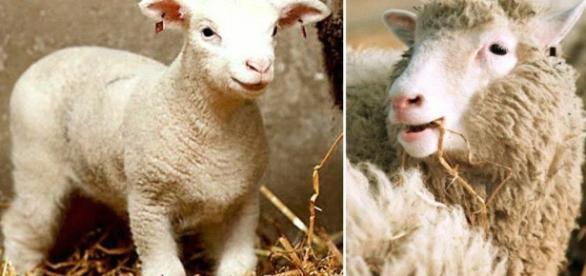 24zampe | Nell'anniversario di Dolly, Coldiretti lancia l'allarme ... - ilsole24ore.com