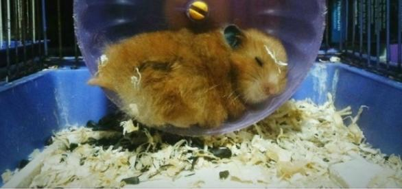 Hamster ficou imobilizado durante dias. ( Foto: Reprodução)
