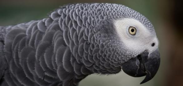 Rocky the African Grey parrot foiled a robbery after pecking the burglar on his hand [Image: Pixabay/CC0]