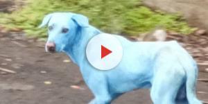 Cani blu a Mumbai in India a causa dell'inquinamento