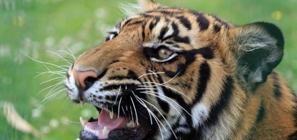 Free photo: Tiger, Tiger Head, Animal, Feline - Free Image on ... - pixabay.com