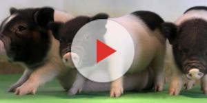 Ecco i maiali con dna modificato, per trapiantarne gli organi ... - wired.it