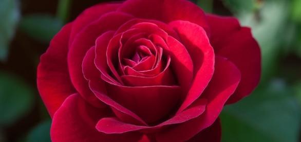 Free photo: Flower, Rose, Red, Red Rose - Free Image on Pixabay ... - pixabay.com