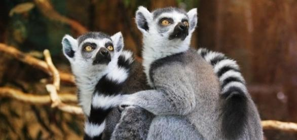 Ring-tailed lemurs are found in Madagascar [Image: Pixabay]