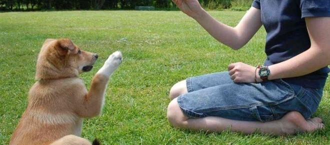 Como ensinar truques básicos para o seu cão