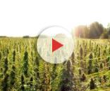 In Cina la coltivazione della cannabis diventa legale