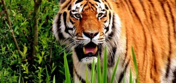 Free photo: Tiger, Predator, Fur, Beautiful - Free Image on ... - pixabay.com