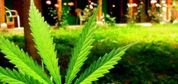 https://commons.wikimedia.org/wiki/File:Marijuana_leaf_at_Veer_Guest_House,_Manali_(164703748).jpg