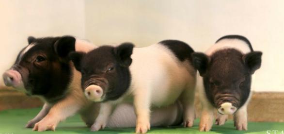Pigs could be the answer to human organ shortfall photo credits:Meg Tirrell (@megtirrell)   Twitter - twitter.com