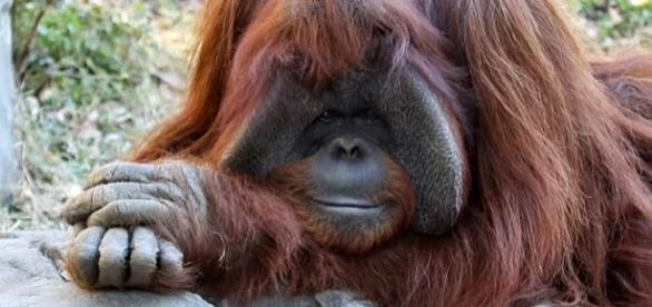 Chantek the orangutan has died at the age of 39 [Image: YouTube/AFP news agency]