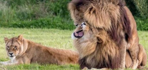 Leões são flagrados em clica de 'brotheragem' - Google
