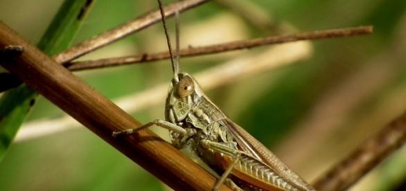 Locusts swarm. Image via Pixabay.