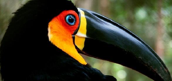 Tucano do bico preto está ameaçado de extinção