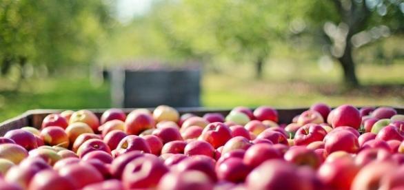 La mela Annurca campana arresta la calvizie
