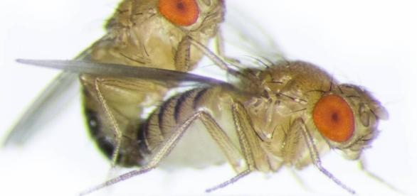 La mosca que eyacula espermatozoides 20 veces más grandes que su ... - elpais.com