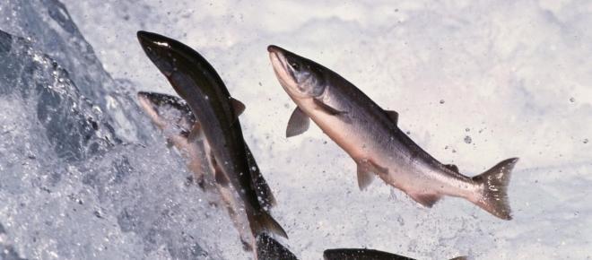 La metà dei salmoni d'allevamento ha problemi di sordità