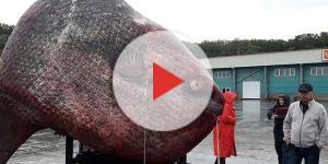 Peixe bizarro, de enormes proporções, foi capturado por pescadores russos