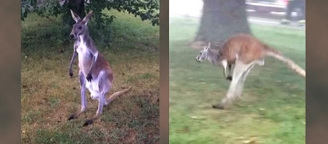 Watch as kangaroo goes on the hop from Kenosha farm
