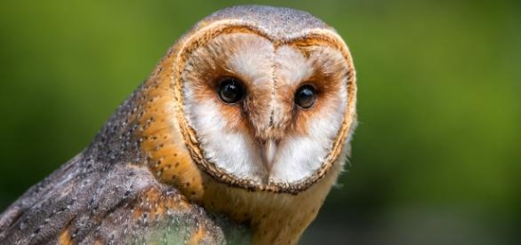 Barn owls retain their hearing well into old age. (Via Pixabay/LubosHouska)