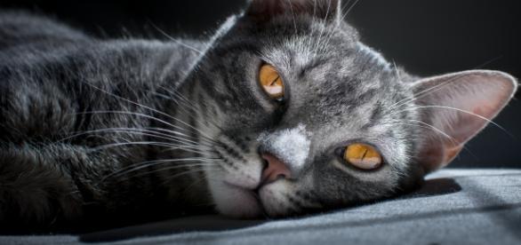 Gatto striato grigio e bianco con profondi occhi gialli (da unsplash.com - Matheus Queiroz)