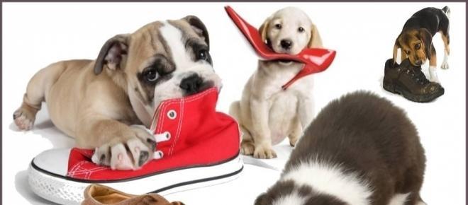 3 dicas simples, para seu cão parar de destruir suas coisas