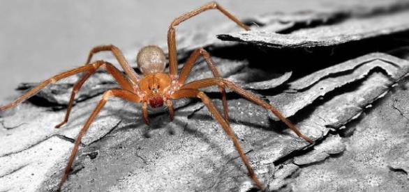 L'immagine di un ragno violino