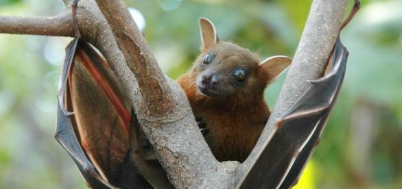 Lesser_short-nosed_fruit_bat_(Cynopterus_brachyotis) Image creative commons |wikimedia