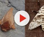 La larva e l'adulto di Podalia orsilochus.