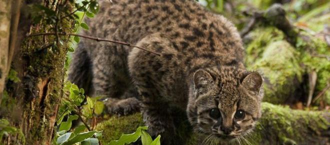 Esperanza para el amenazado 'pequeño gato tigre'