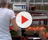 Lavoratrice impegnata nell'ambito della lavorazione dei pomodori