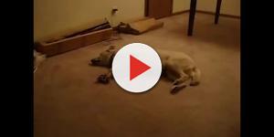 Vídeo: Cão sonâmbulo acorda de um pesadelo
