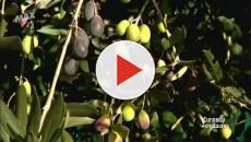 El aciente de oliva es más que oro líquido