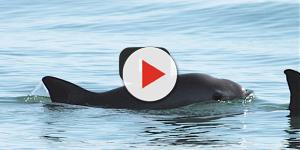 Vaquita Marina en peligro de extinción