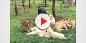 Impressionante! Tigre salva tratador de ataque de Leopardo; assista