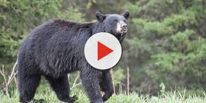 Homem é atacado por urso após ter provocado o animal com comida