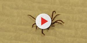 Video: Zecche: Cosa fare durante l'estate per non prendere la malattia di Lyme
